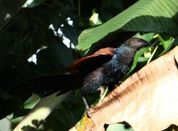 Image of Greater coucal
