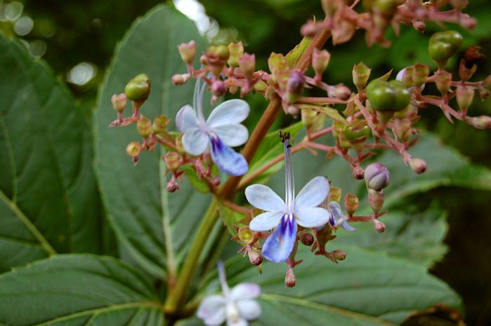 Image of <i>Clerodendrum serratum</i>