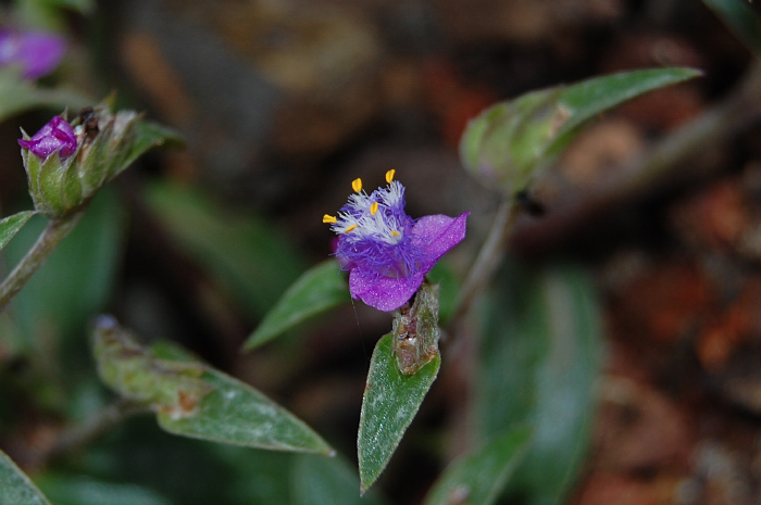 Image of <i>Cyanotis fasciculata</i> (B. Heyne ex Roth) Schult. & Schult. fil.