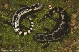 Image of Marbled Salamander