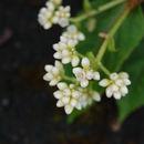 Image of <i>Persicaria chinensis</i> (L.) Nakai