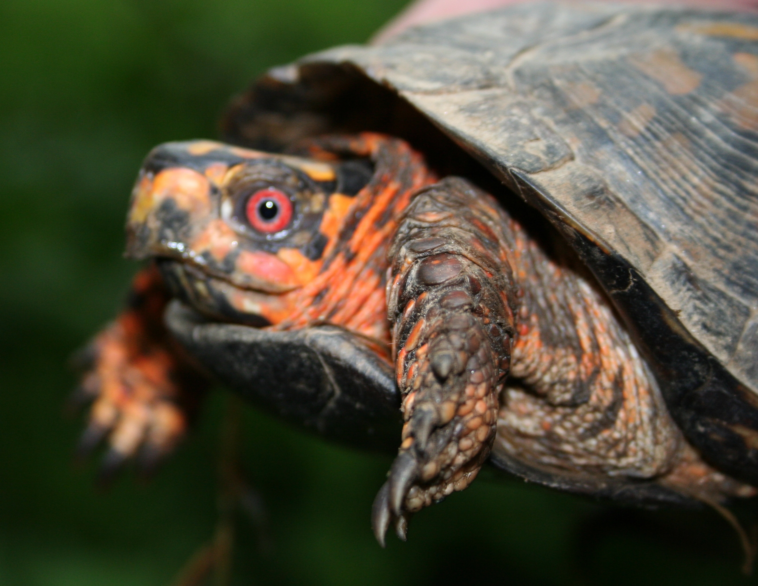 Image of eastern box turtle