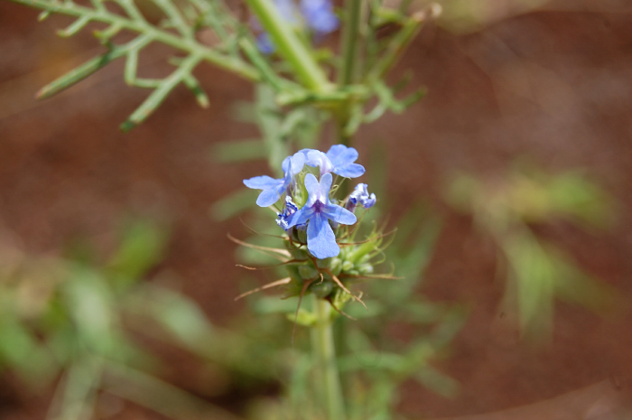 Image of <i>Lavandula bipinnata</i> (Roth) Kuntze