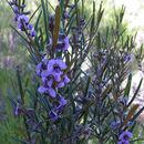 Image of purple pea