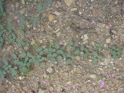 Image of Santa Rita Mountain bean