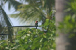 Image of Brown-breasted Barbet