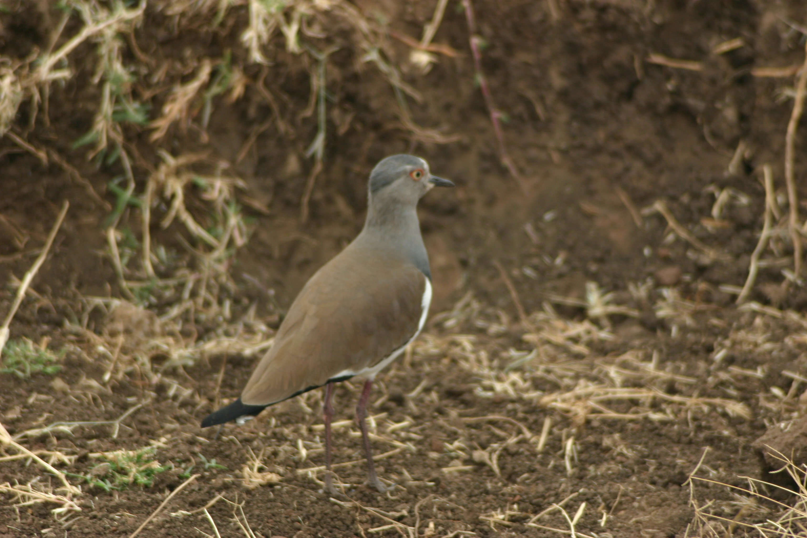 Image of Black-winged Lapwing