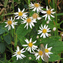 Image of mountain aster