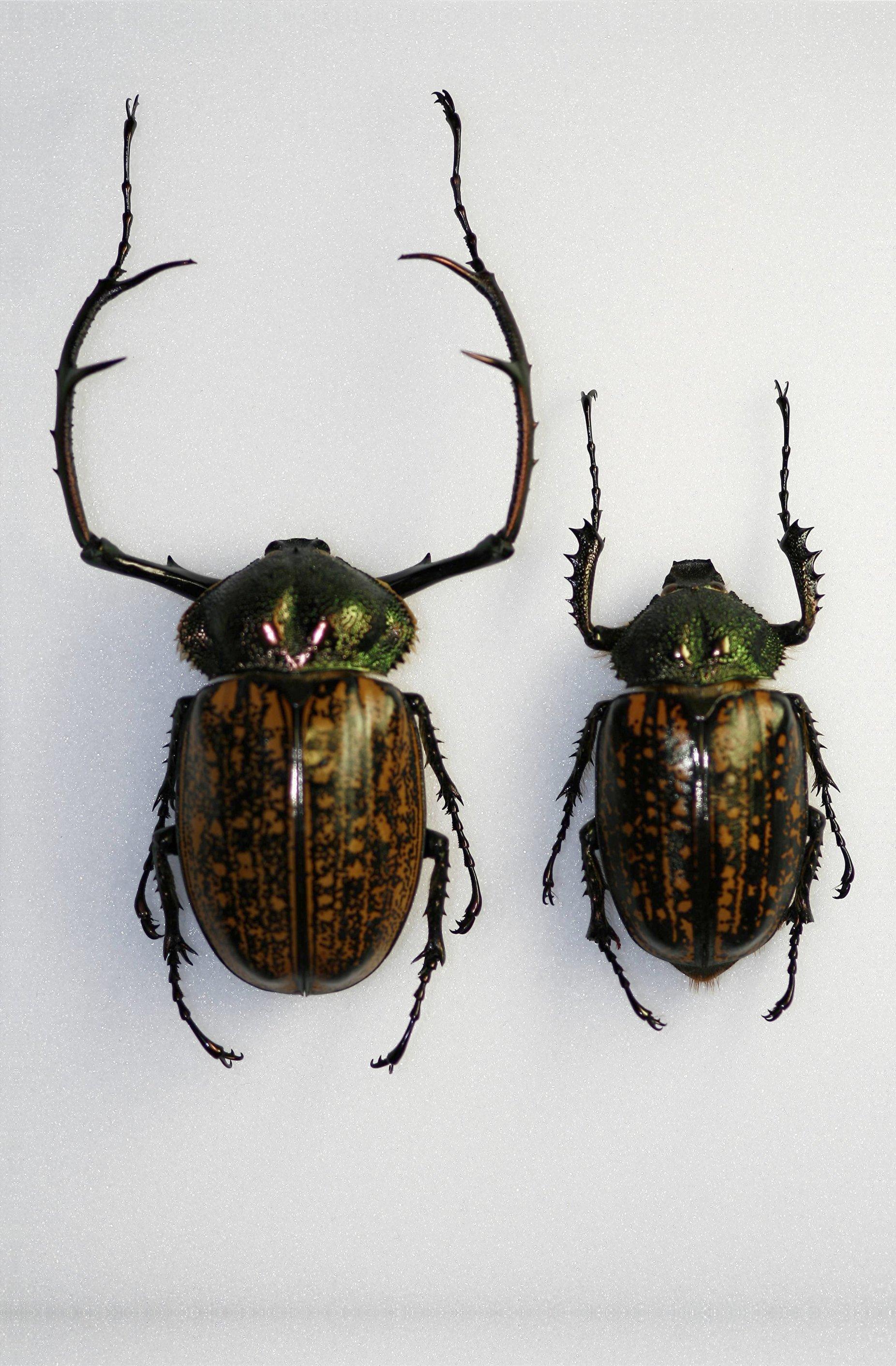 Image of <i>Cheirotonus parryi</i> Gray 1848