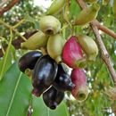 Image of Java plum