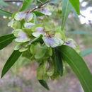 Image of <i>Dodonaea triquetra</i> Wendl.