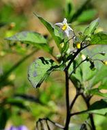 Image of <i>Solanum nigrum</i>