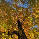 Image of sugar maple