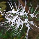Image of <i>Clerodendranthus spicatus</i>