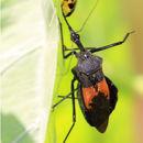 Image of <i>Sycanus bifidus</i>