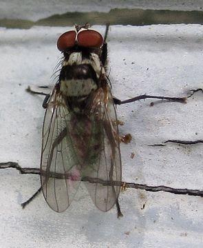 Image of <i>Anthomyia oculifera</i> Bigot 1885