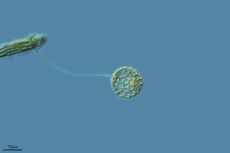 Image of <i>Clathrulina elegans</i>
