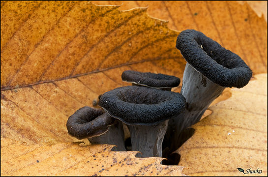 Image of Black Chanterelle