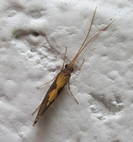 Image of <i>Neophylax oligius</i> Ross 1938