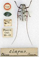 Image of <i>Olenecamptus clarus</i> Pascoe 1859