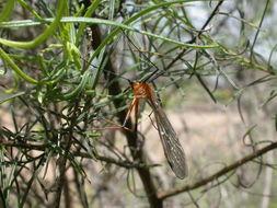 Image of <i>Harpobittacus australis</i> (Klug 1838)