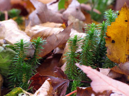 Image of Appalachian clubmoss