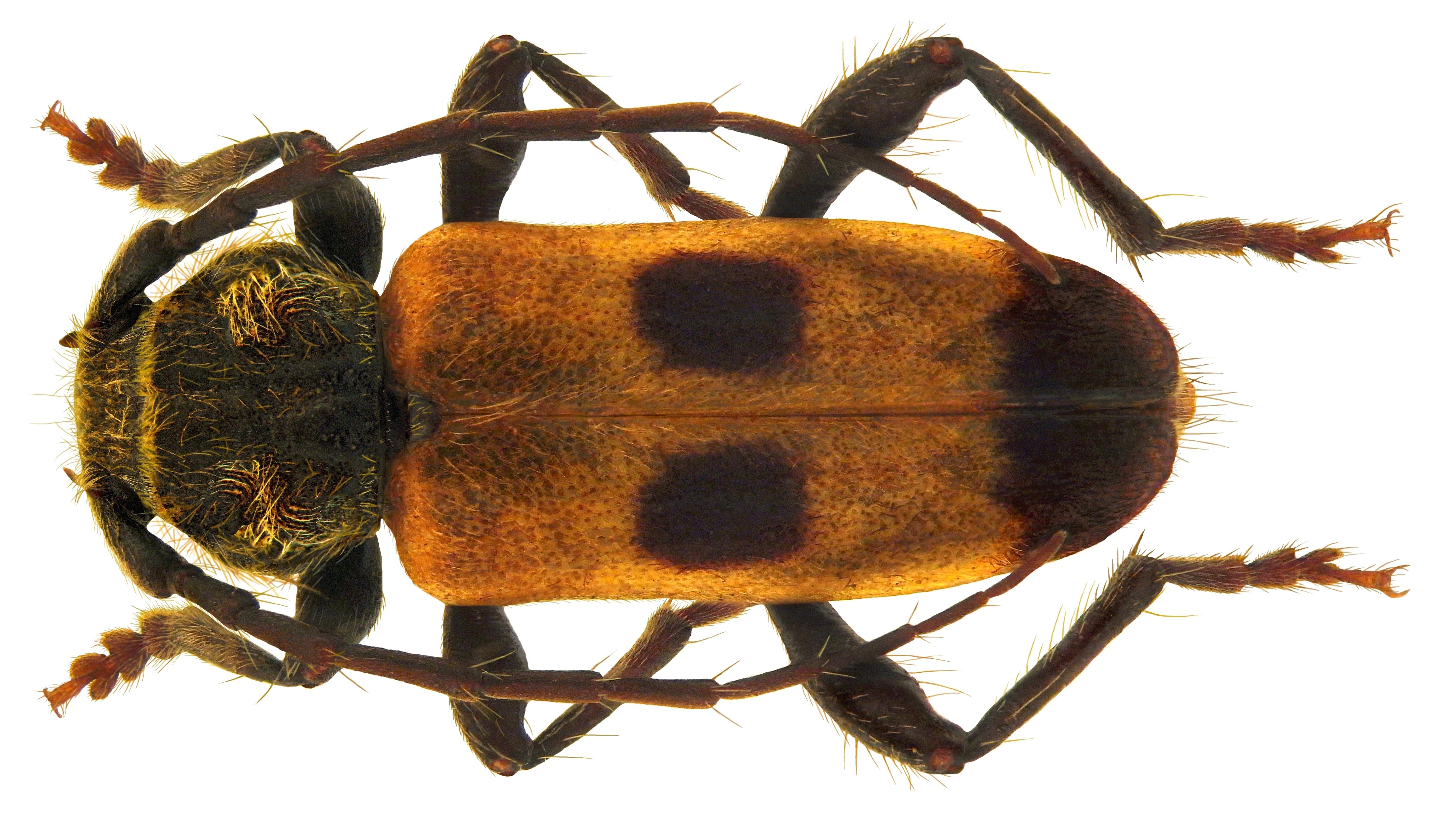 Image of <i>Semanotus russicus</i> (Fabricius 1776)