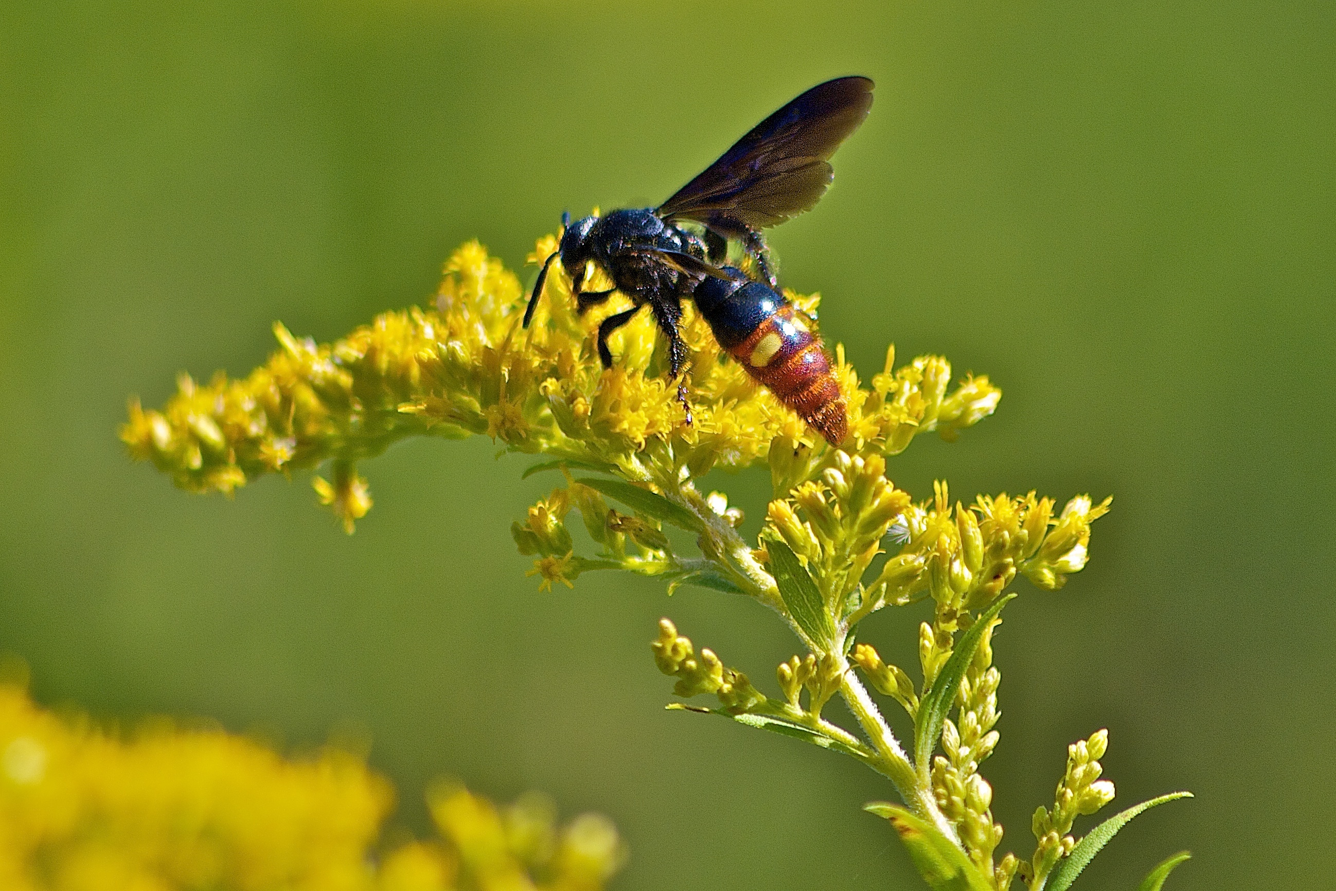 Image of Blue-winged Wasp