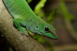 Image of Madagascar Day Gecko