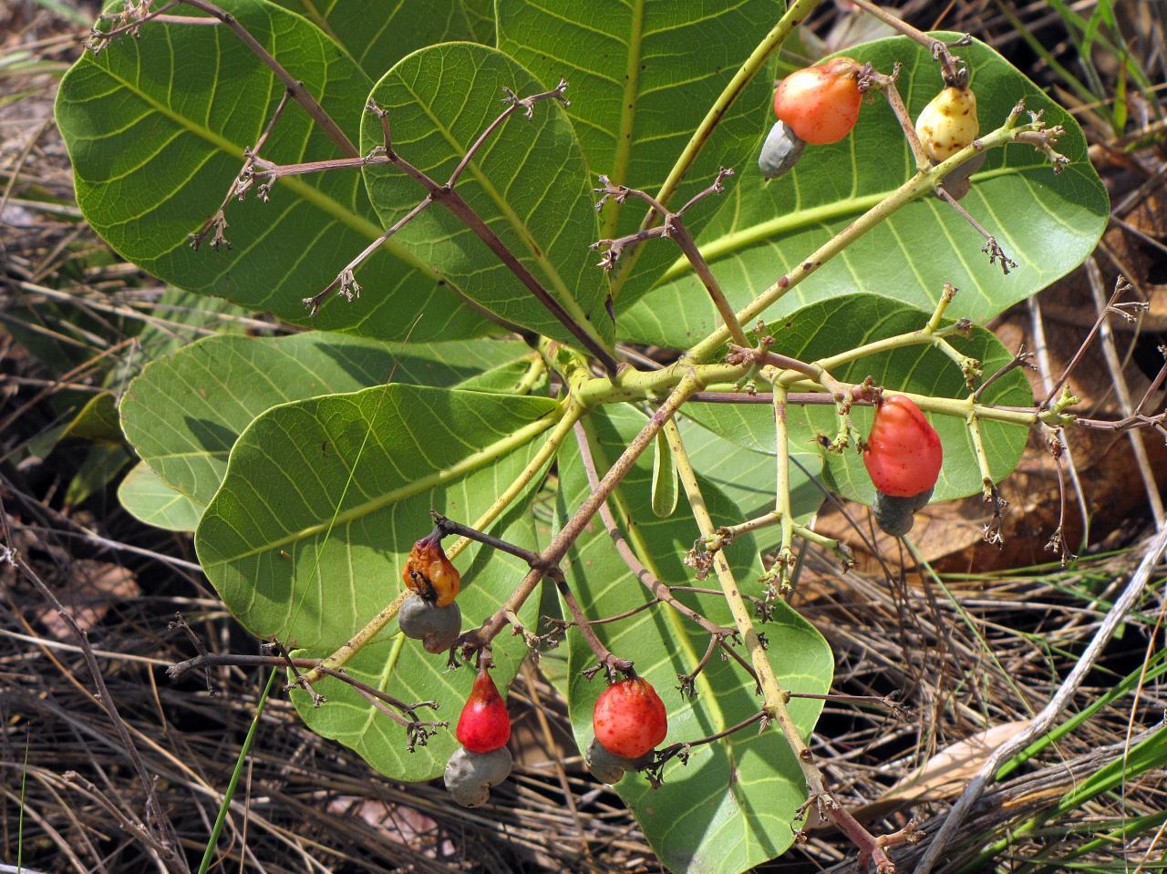 Image of monkey nut