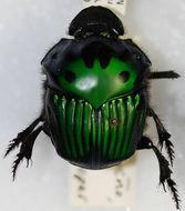 Image of Green Devil Beetle