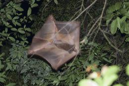 Image of <i>Cynocephalus variegatus</i>
