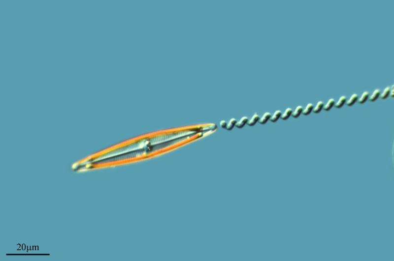 Image of <i>Spirulina major</i>