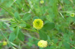 Image of field clover