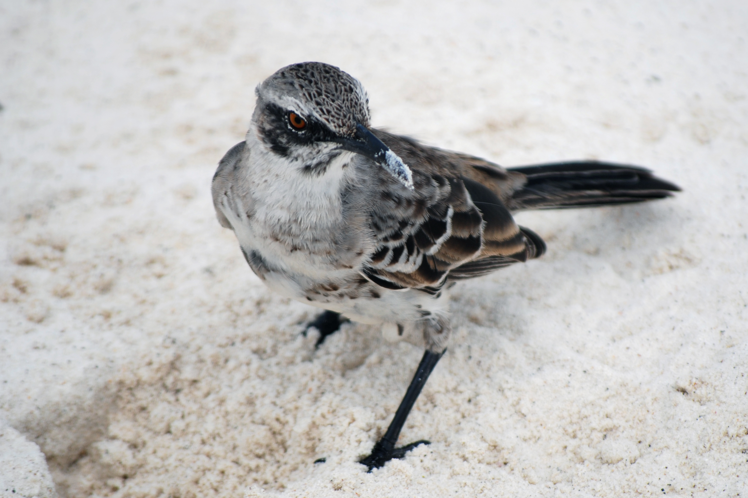 Image of Espanola Mockingbird