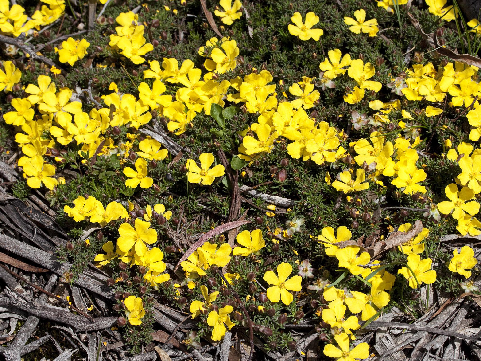 Image of <i>Hibbertia prostrata</i>