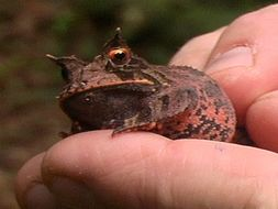 Image of Boie's Frog