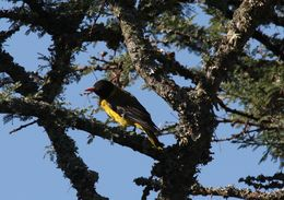 Image of Black-tailed Oriole