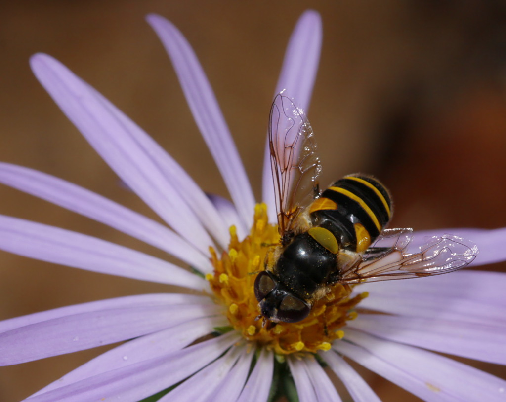 Image of Transverse Flower Fly