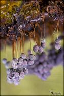 Image of <i>Badhamia utricularis</i>