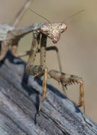 Image of Carolina Mantis