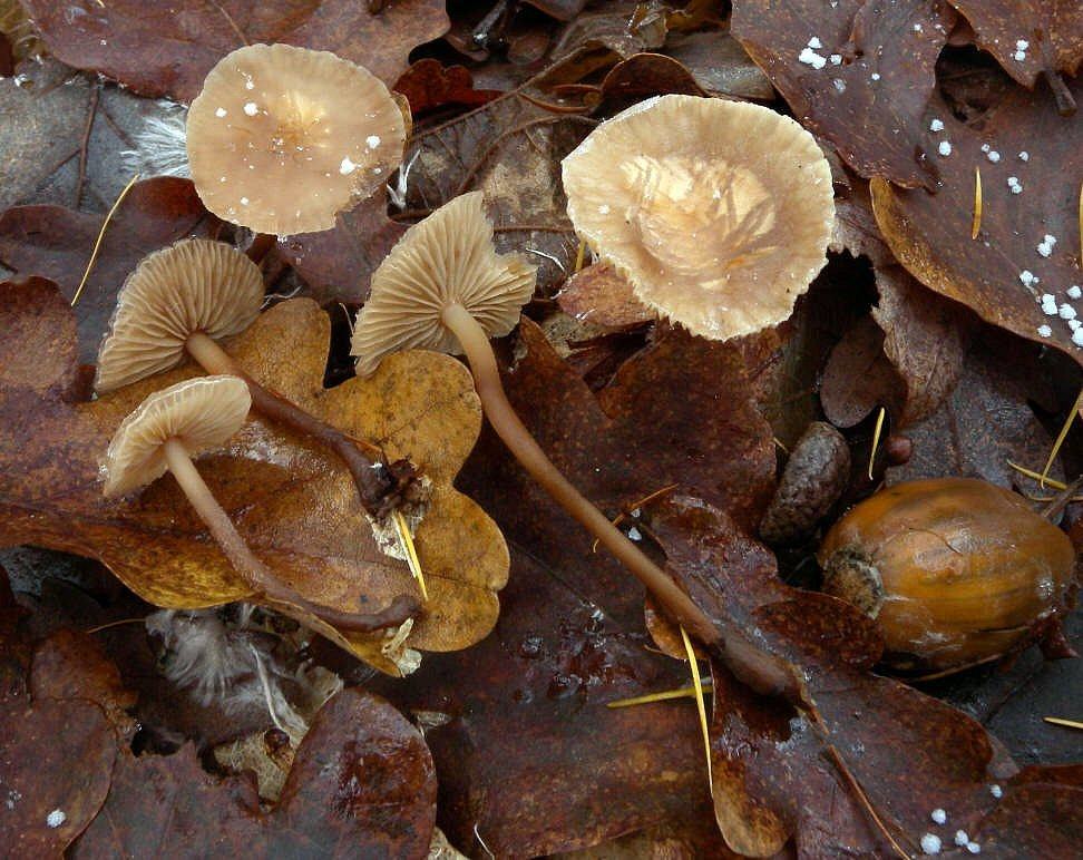 Image of <i>Mycetinis querceus</i> (Britzelm.) Antonín & Noordel. 2008