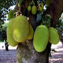 Image of jackfruit
