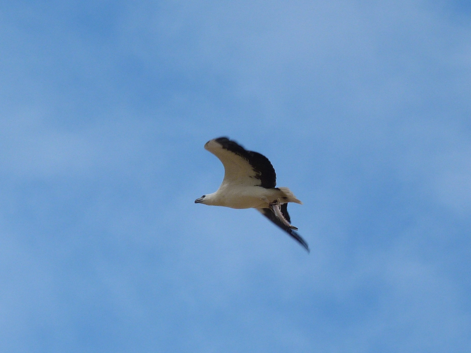 Image of White-bellied Fish-Eagle