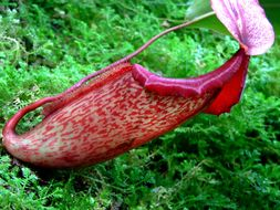 Image of Nepenthes