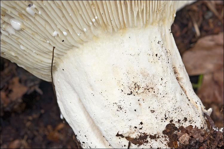 Image of fleecy milk-cap