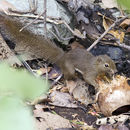 Image of Common Red-bellied Squirrel