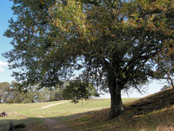 Image of California black oak