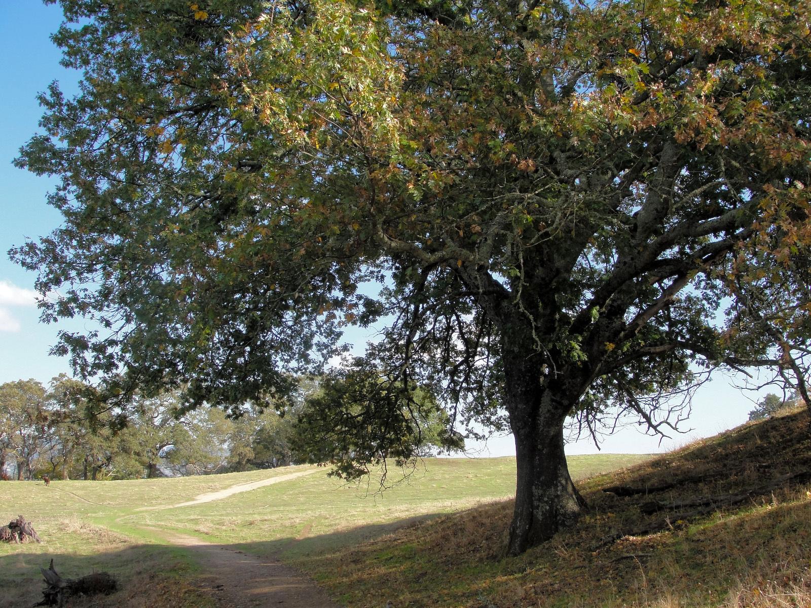 Image of California black oak