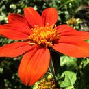 Image of Mexican sunflower